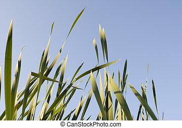 Cane - Nature. marsh rushy
