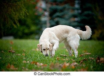 cane riporto dorato