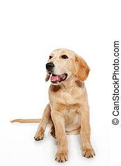 cane riporto dorato, cane, cucciolo, isolato, bianco