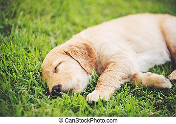 cane riporto dorato, cucciolo