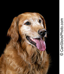 cane riporto dorato, lingua fuori
