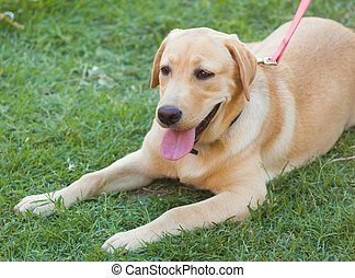 cane riporto labrador, su, fresco, erba verde