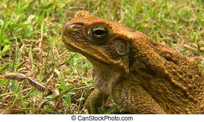 Steady, close up shot of a cane toad (Rhinella marina) breathing quickly.