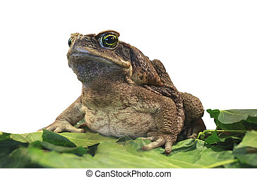 cane toad. Bufo marinus isolated on white
