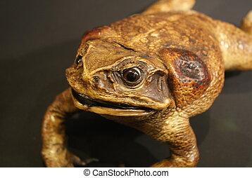Cane Toad - Bufo marinus - Large Cane Toad - Bufo marinus