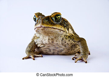 Cane toad (Bufo marinus) closeup and isolated over white