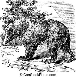 canela, urso, (ursus, occidentalis), vindima, gravura