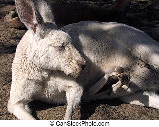 canguro, -, animal