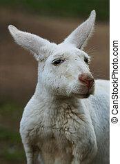 canguro, primer plano, albino