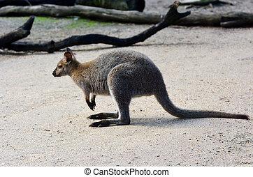 canguru,  antilopine