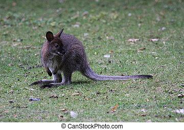 canguru, bennett, wallaby