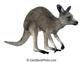 canguru cinzento oriental