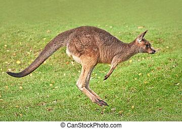 canguru cinzento oriental, (macropus, giganteus)