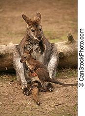 canguru, com, bebê