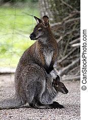 canguru, com, filhote, em, a, saco
