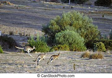 canguru, em, a, australiano, campo