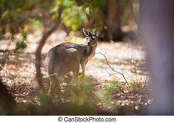 canguru, em, austrália