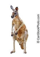 canguru, isolado