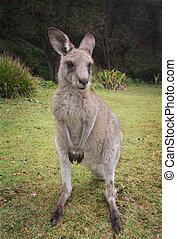 canguru, macropus giganteus