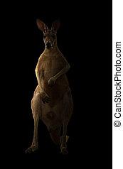 canguru, sem conhecimento