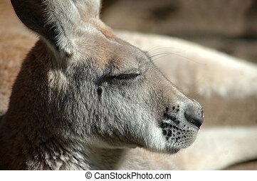 canguru, vermelho