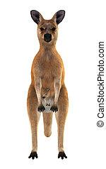 canguru vermelho, com, bebê