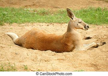 canguru vermelho, (macropus, rufus)