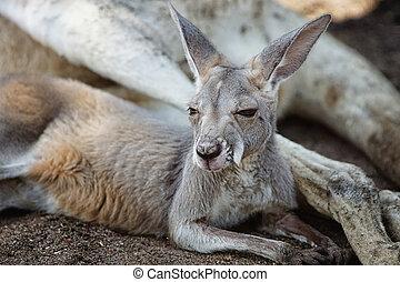 canguru vermelho, rufus macropus