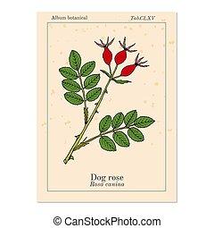 canina, 薬効がある 植物, rosa, バラ, 犬