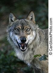 canis, 狼, 灰色, lupus