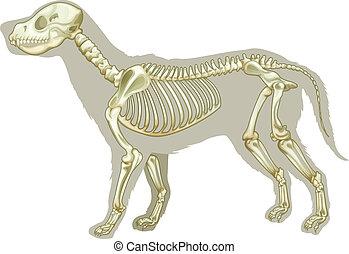 Canis lupus familiaris - skeleton - Illustration of a...