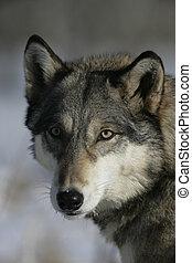 canis, wolf, grau, lupus