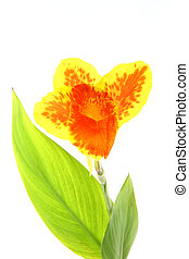 Canna lily orange and yellow flower.