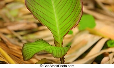 Canna Lily Plant Leaves Detail Shot Panning Camera - Canna...