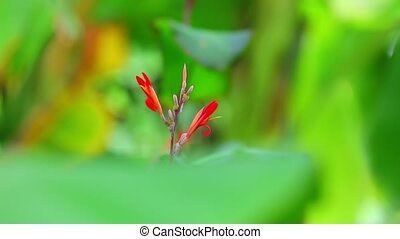 Canna Lily Vibrant Red Flowers And Bokeh Background - Canna...