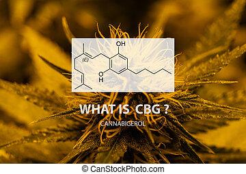 Cannabigerol (CBG) non-psychoactive cannabinoid in marijuana strains. Medical use of cannabis in the world.