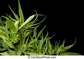 cannabis, achtergrond, space., kopie