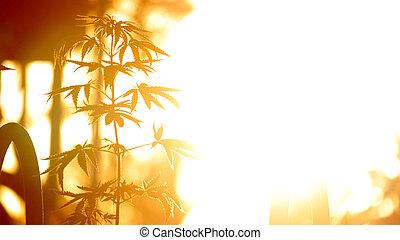 cannabis, amanhecer