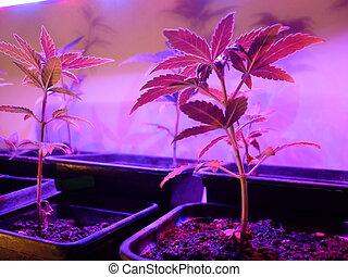 Cannabis Amnesia autoflovering - Cannabis Sativa LED growing...