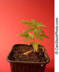 cannabis, amnesia, autoflovering