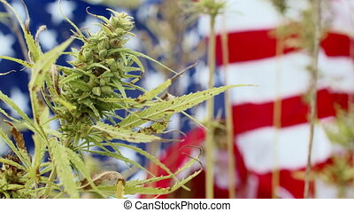 Cannabis or Hemp plant with american flag. Concept of or medical marijuana legalization.