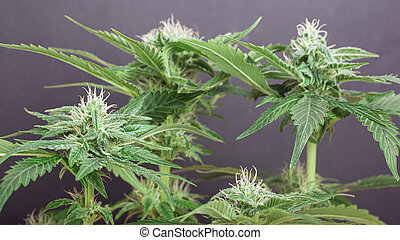 cannabis, blanc neige, parsemé, bourgeons, gris, trichomes., buisson, marijuana, fond, fleurir, beau