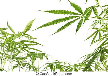 cannabis, branca, experiência., leaves., marijuana