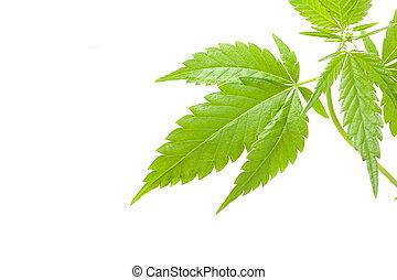 cannabis, branca, marijuana, fundo, planta