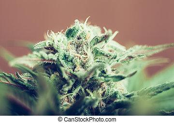 Cannabis bud - Closeup of Cannabis female plant in flowering...