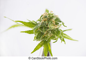 Cannabis bud detail (black russian marijuana strain)...