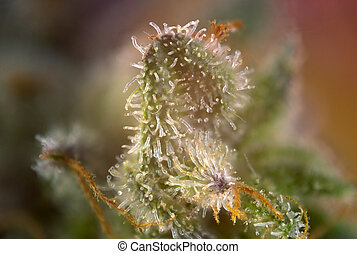 Cannabis bud macro with visible thc glands aka trichomes -...