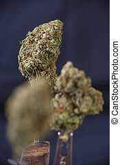 Cannabis buds (sour tangie strain) isolated on black background