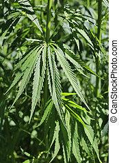 cannabis, cânhamo, marijuana, foliage, fresco, planta, verde