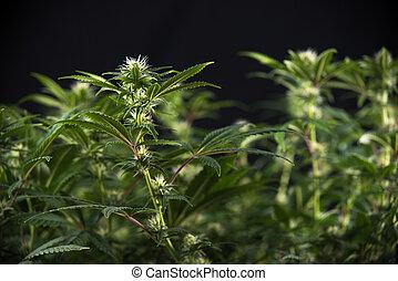cannabis, cabelos, strain), marijuana, cedo, visível, (thousand, folhas, florescendo, cola, carvalhos, fase